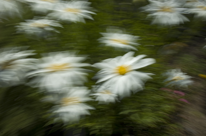 Daisys in the wind
